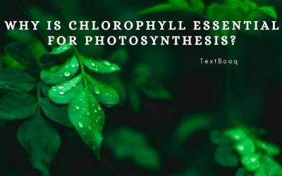 Why is Chlorophyll Essential for Photosynthesis_